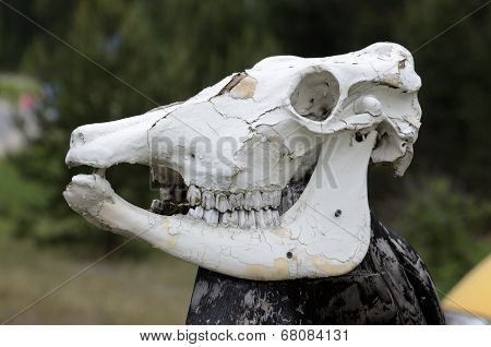 Cow Skull On A Pole Outdoors