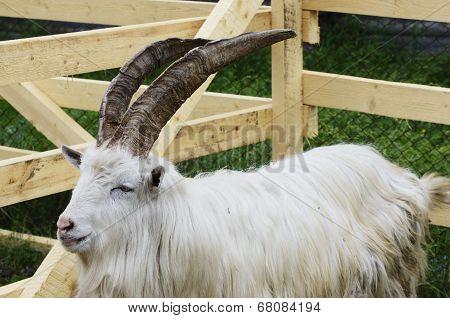 Goat In A Wooden Pen