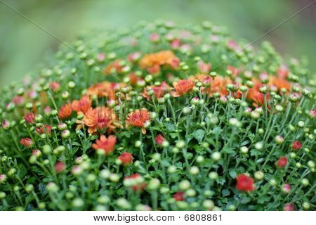 Red Chrysanthemum Bush In Flowerpot