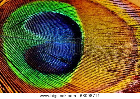 Macro shot detail of colorful peacock feather texture