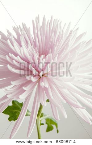 Detail of pink chrysanthemum flower isolated on white