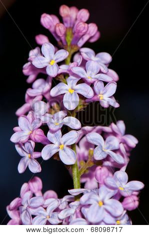 Stem with bunch of tiny purple flowers over dark background