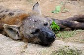 stock photo of hyenas  - A sleeping hyena outside on a rock - JPG