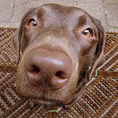 picture of labradors  - brown chocolate color labrador retriever dog close up picture - JPG