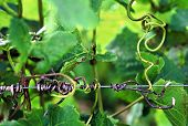 picture of tendril  - Close up detail of grape vine tendril - JPG