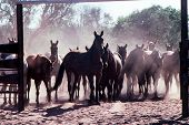 stock photo of mustering  - Horses being mustered into a enclosure on a cattle station outback Australia - JPG