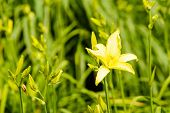 stock photo of day-lilies  - Yellow Day - JPG