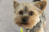 image of yorkie  - Adorable yorkie puppy gazing into the camera longing for affection