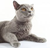 image of portrait british shorthair cat  - Blue British Shorthair cat on white background - JPG