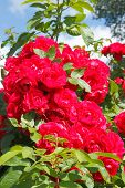 stock photo of climbing rose  - Flowering climbing rose  - JPG