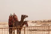 pic of great horse  - Camel and mule or horse waiting for tourists by the Great Pyramid of Giza in Cairo Egypt