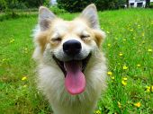 stock photo of tongue  - dog sit in grass close up picture smile tongue