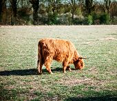 pic of highland-cattle  - Scottish highland cattle cow bovine grazing in field - JPG