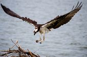picture of osprey  - An Osprey Landing at her nest by the ocean - JPG