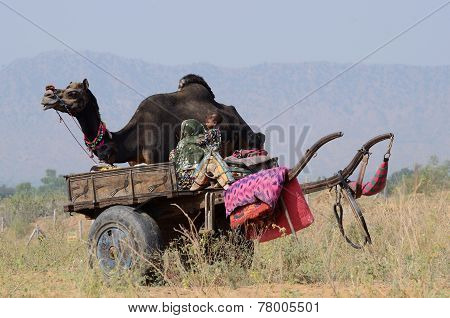 Gypsy family are preparing to traditional camel fair holiday in nomadic camp at Pushkar sacred town