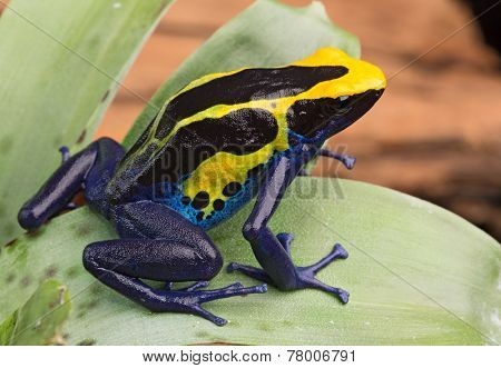 poison dart frog, Dendrobates tinctorius from the Amazon rain forest near the border of Suriname and Brazil. beuatiful macro of exotic amphibian