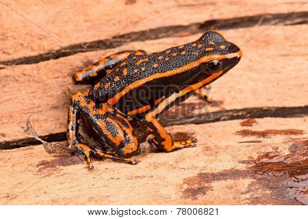 poison arrow frog Ameerega trivittatus a tropical amphibian fromthe Amazon jungle