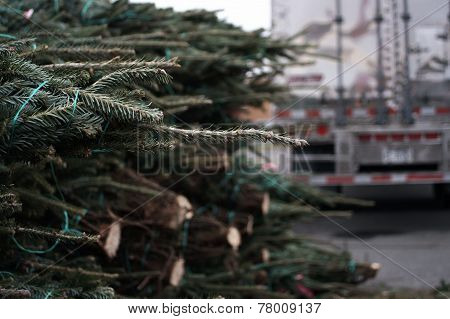 Fresh cut Chrismas Trees