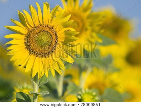 Close Up Of Beautiful Sunflowers Petal In Flowers Frild With Copy Space Use As Nature Plant  Backgro