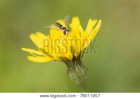 Syrphid Fly On Dandelion Yellow