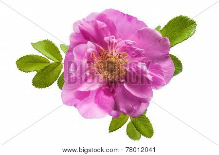 Wild Rose Flower On White Background