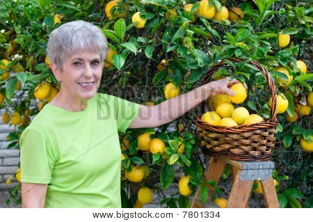 Adult Picking Lemons