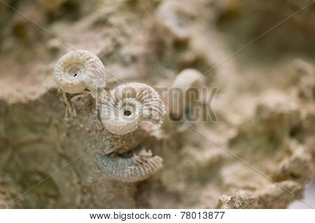 Shell Fossils On Petrified Sand Stone