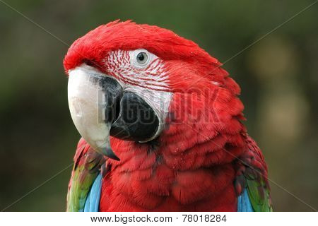 Green-winged macaw (Ara chloropterus).