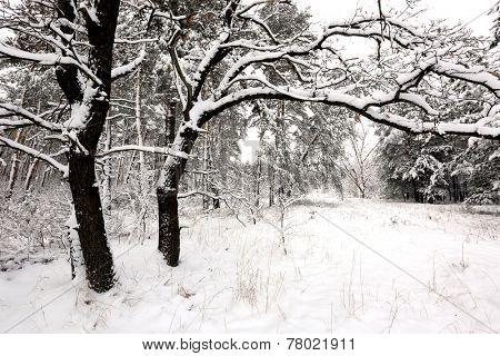 Winter scene with oak in forest
