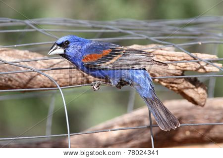 Male Blue Grosbeak (passerina Caerulea)