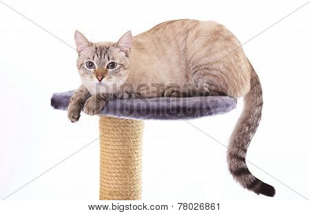 Beautiful Thai cat lies on scratching posts.