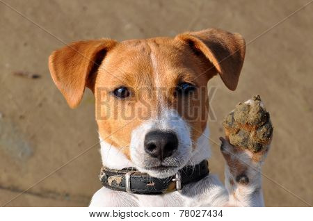 Dog, Jack Russell