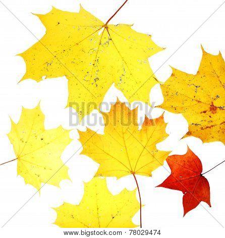 Autumn Leaves Maple Herbarium Isolated October