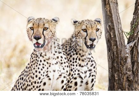 Two cheetahs rests after meal in Serengeti