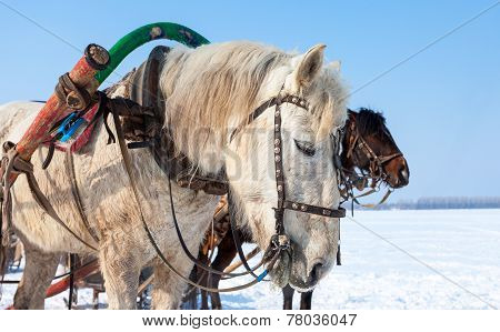 Head Of White Horse With  Bridle And Harness. Photo Taken In Winter In Russia