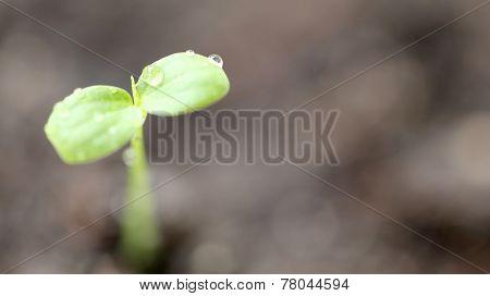Macro Of Forest Tree Seedling.