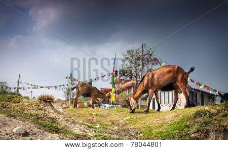 Goats In Nepal