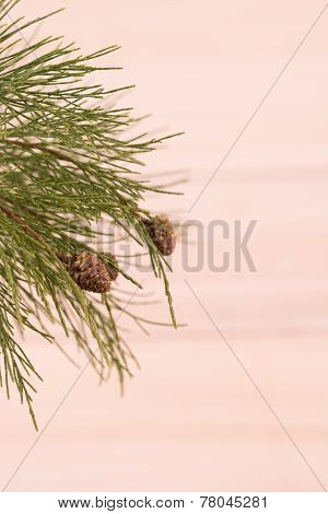Pine Tree Branch With Pinecones Close-up