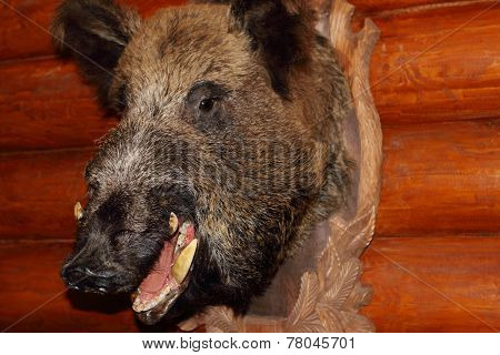 Closeup Of Stuffed Wild Boar Head With Fangs Hanging On Wooden Wall Log