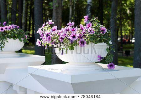 Beautiful Purple Flowers In White Flowerpot In Summer Sunny Park