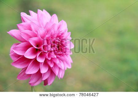 Beautiful Bright Pink Dahlia On Green Background In Summer Garden