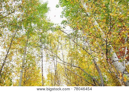 Many Yellow And Green Birches In Autumn Forest At Overcast Day