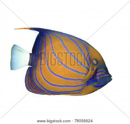 Bluering Angelfish isolated on white background