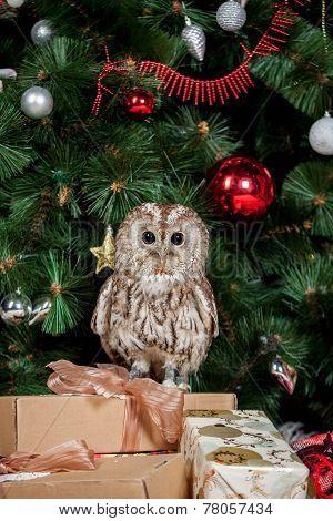 Tawny or Brown Owl, Strix aluco,
