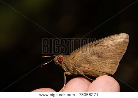 Rounded Palm-redeye Or Giant Skipper