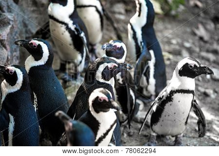 African penguins at the zoo in Warsaw. Poland
