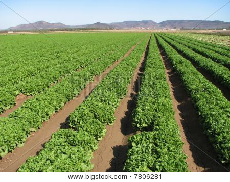 Imperial Valley Lettuce Farm Rows