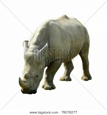 Rhinoceros grazing, Isolated