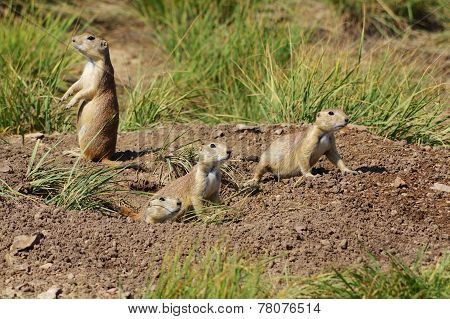 A family of prairie dogs.