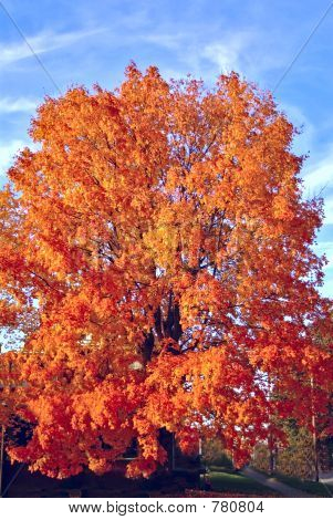 Autum Sugar Maple